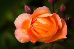 rose-rose-family-rosaceae-composites-53007